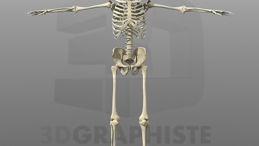 cr ation du squelette humain en 3d 3dgraphiste fr. Black Bedroom Furniture Sets. Home Design Ideas