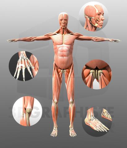 Le corps humain 3d graphiste - Visualisation 3D de l'Anatomie