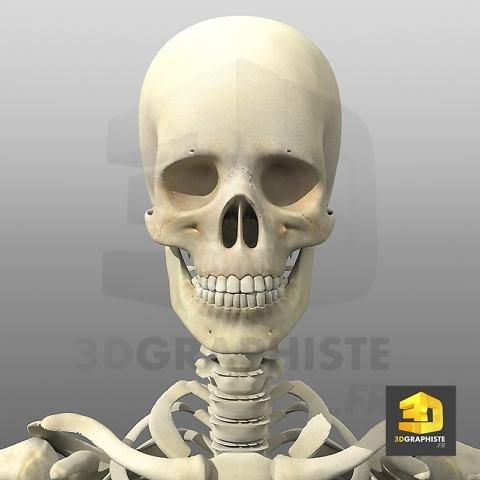 Illustration medicale - crane humain - squelette