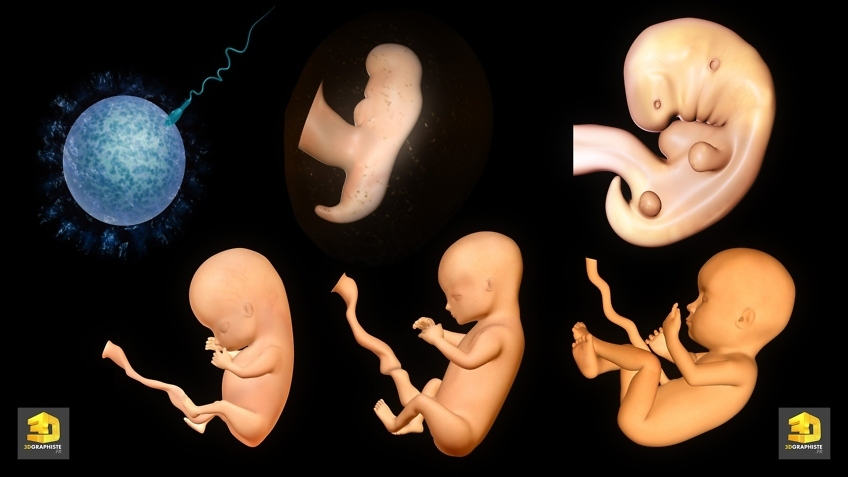 Illustrateur medical foetus grossesse
