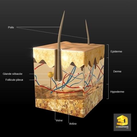 illustration medicale le systeme pileux