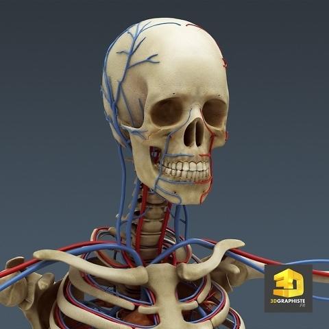 illustration 3D Médicale - le système arteriel