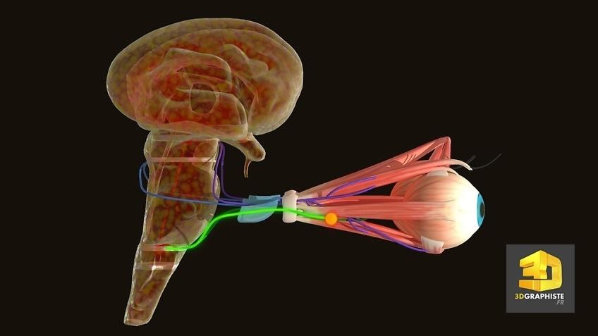 Réalisation d'animations 3D médicales - Système oculaire