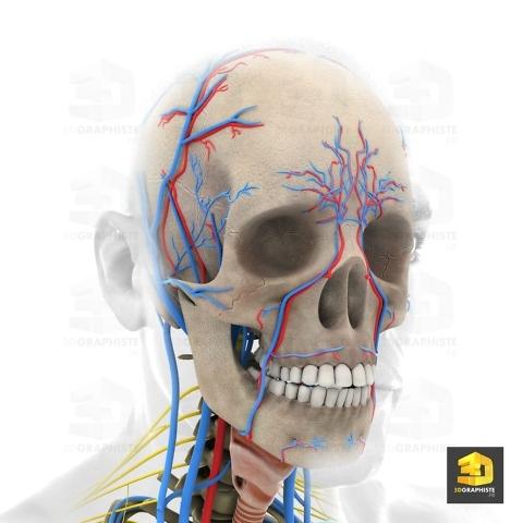 illustration 3d médicale - systeme nerveux facial