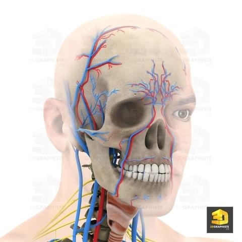 systeme nerveux facial - infographie 3D